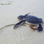 Eine Baby-Schildkröte am sauberen Strand