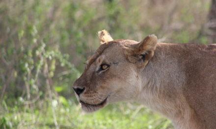 Tansania – Von der Serengeti bis zum Kilimanjaro