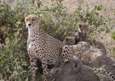 Eine Gepardenfamilie