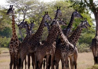 A herd of giraffe standing on top of a dry grass field