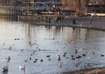 Vögel im Wasser am Kiestrand mit Menschen