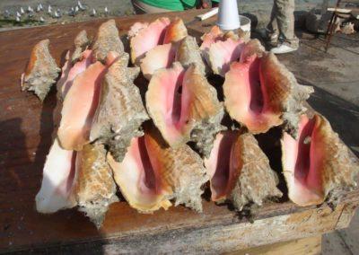 Conch Muschel