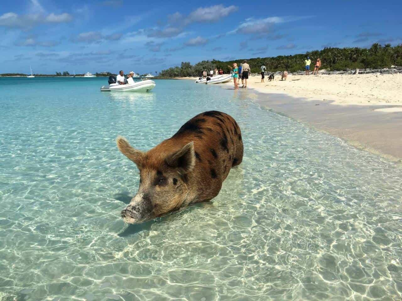 Schwein schwimmt im smaragdgrünen Meer