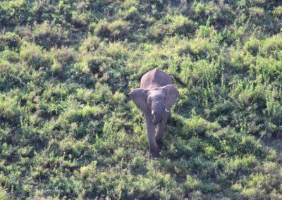 Der Elefanten Papa ist angriffslustig