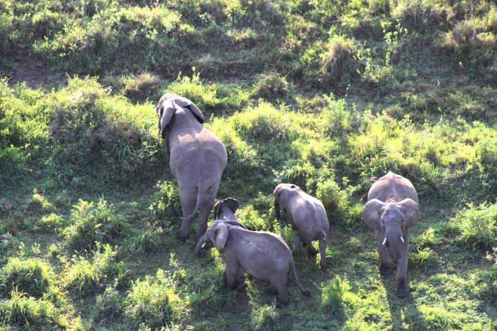 Die Elefanten schützen die Babies