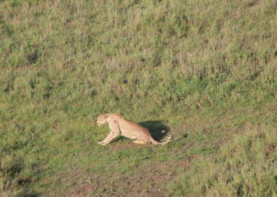 Der Gepard erwacht