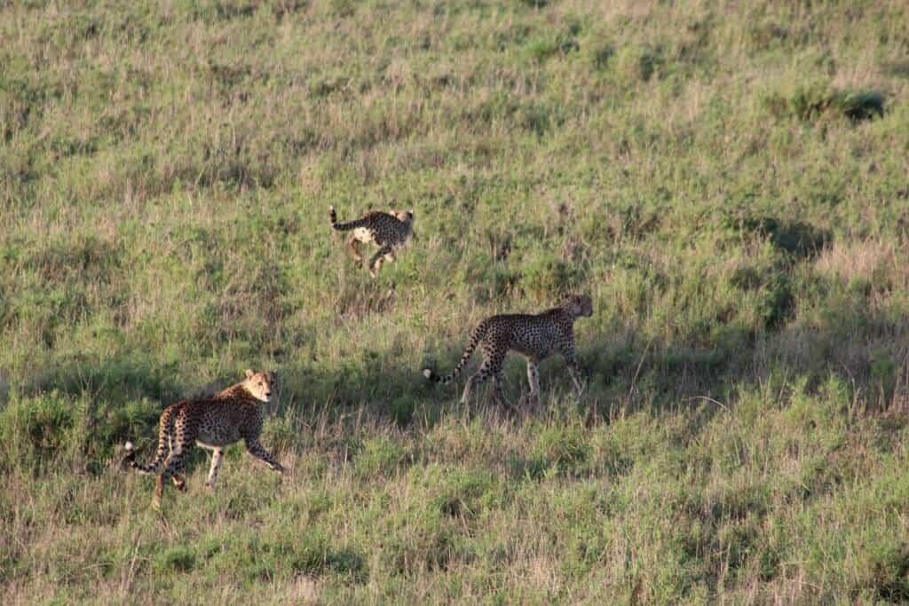 Geparden auf der Flucht