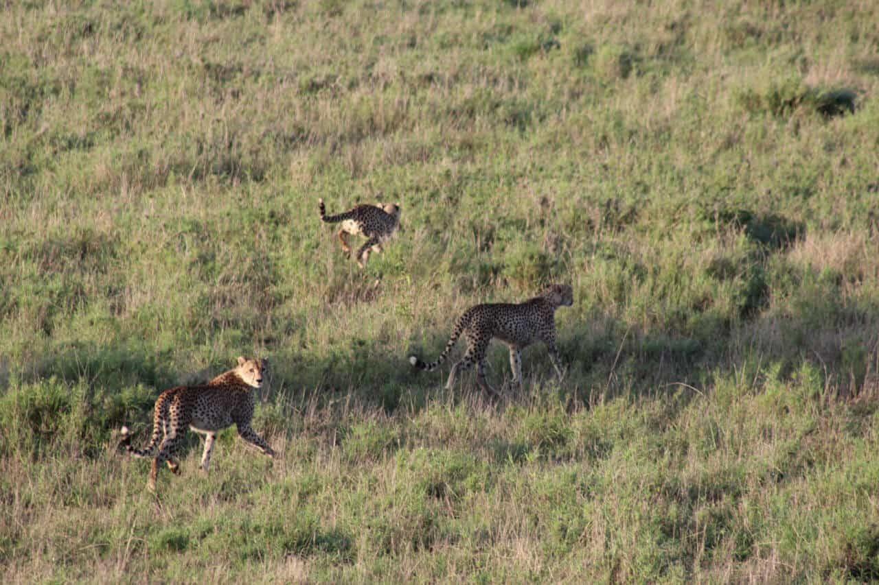 Geparden rennen über Gras