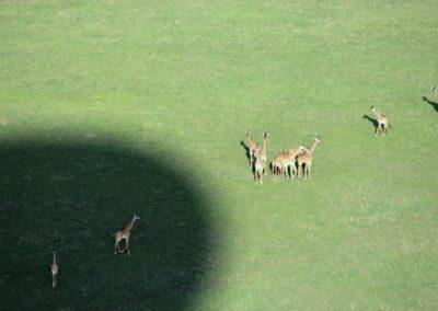 Giraffen im Schatten des Ballons