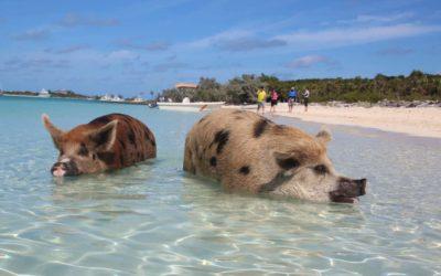 Staniel Cay – von schwimmenden Schweinen und James Bond in der Karibik