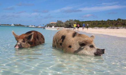 Staniel Cay – von schwimmenden Schweinen und James Bond