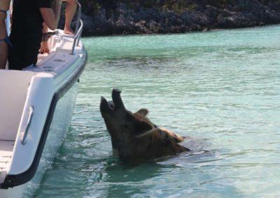 Ein schwimmendes Schwein wird vom Boot aus gefüttert