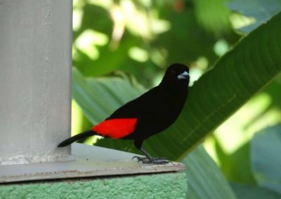 A black and red bird sitting on a branch