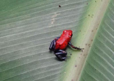 Kleiner Roter Frosch auf grünem Blatt