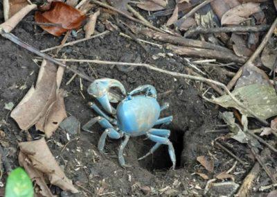 Eine blaue Krabbe