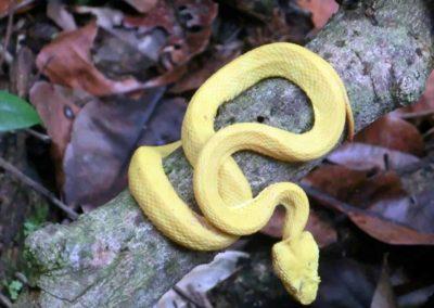 Eine gelbe Schlange